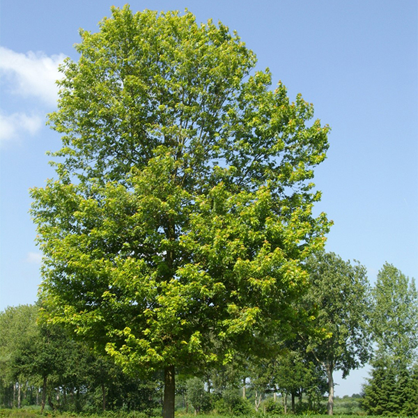 "Acer saccharinum ""Pyramidale"" - Клен серебристый ""Pyramidale"""