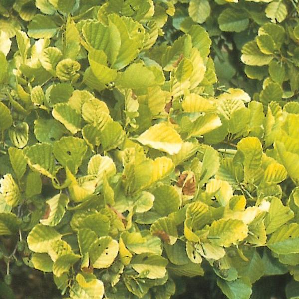 Alnus glutinosa «Aurea» - Ольха черная «Aurea»
