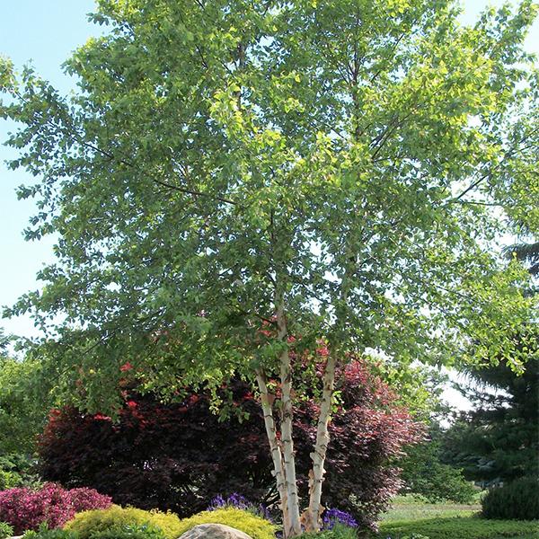 Betula nigra «Heritage» - Береза черная «Heritage»