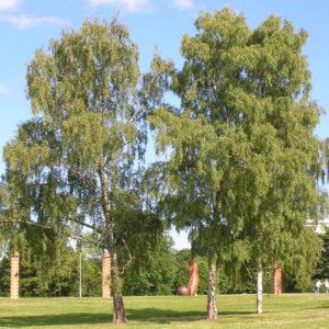 Betula pendula - Береза повислая