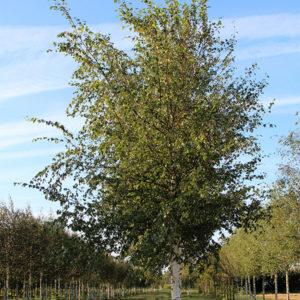 Betula pendula «Zwitsers Glorie» - Береза повислая «Zwitsers Glorie»