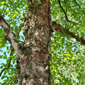 Betula nigra - Береза черная