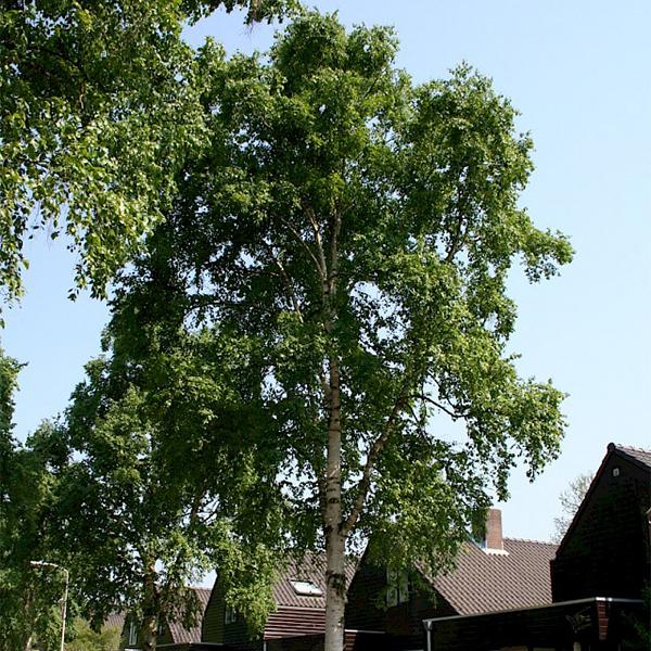 Betula ermanii «Holland» - Береза Эрмана «Holland»