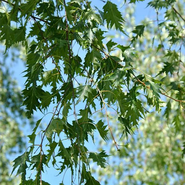 Betula pendula «Laciniata» - Береза повислая «Laciniata»