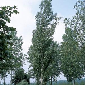 Betula pendula «Obelisk» - Береза повислая «Obelisk»