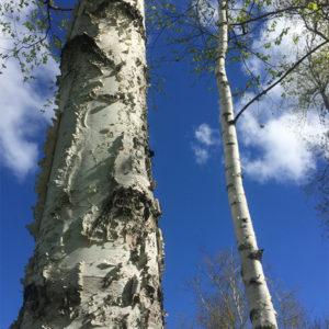 Betula papyrifera - Береза бумажная