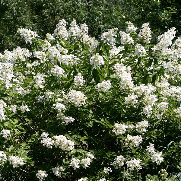 Hydrangea paniculata «Unique» - Гортензия метельчатая «Unique»