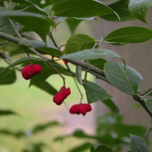 Euonymus europaeus «Atrorubens» - Бересклет европейский «Atrorubens»