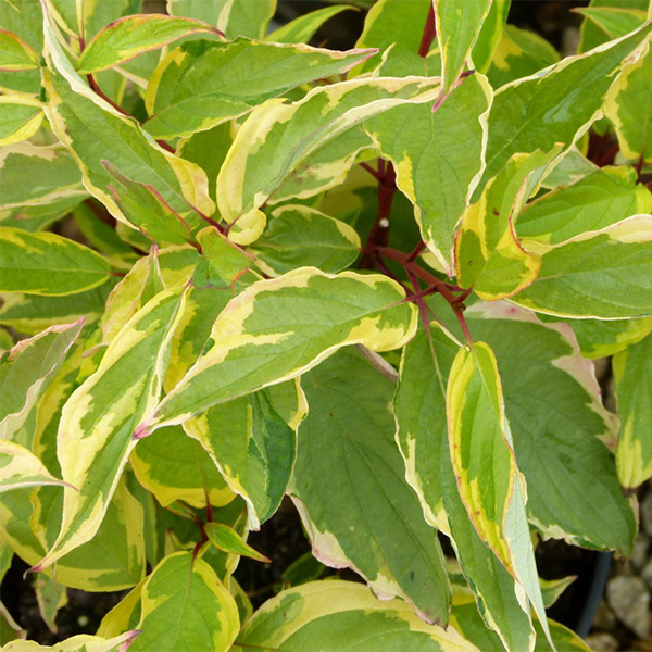 Cornus alba «Gouchaultii» - Дерен белый «Gouchaultii»
