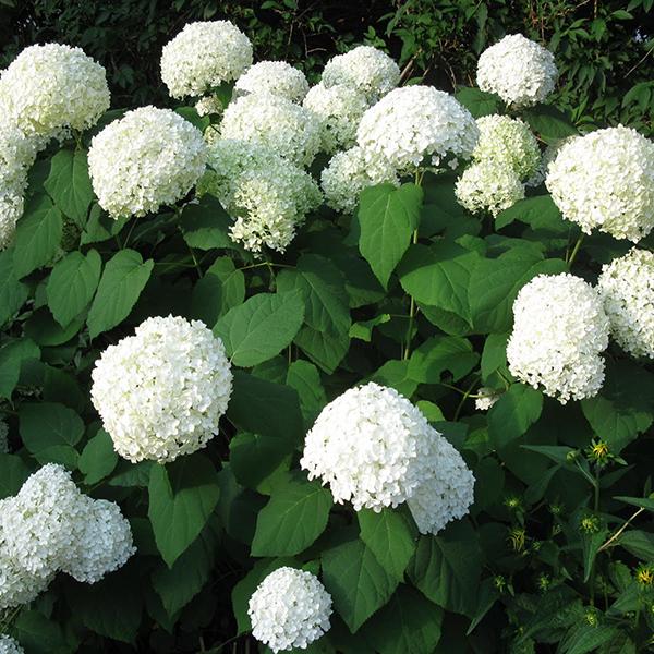 Гортензия древовидная «Annabelle» - Hydrangea arborescens «Annabelle»
