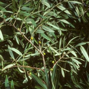 Hippophae salicifolia - Облепиха иволистная