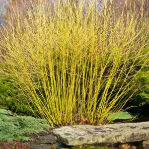 Cornus sericea «Flaviramea» - Кизил блестящий «Flaviramea»