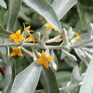 Elaeagnus angustifolia - Лох узколистный