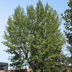 Populus x canadensis - Тополь канадский