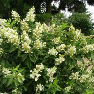 Hydrangea paniculata «Kyushu» - Гортензия метельчатая «Kyushu»