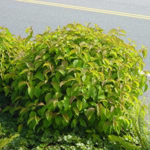Cornus sericea «Kelseyi» - Кизил блестящий «Kelseyi»