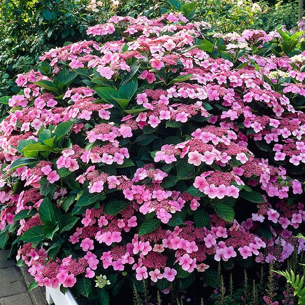 Hydrangea macrophylla «Mariesii Perfecta» - Гортензия крупнолистная «Mariesii Perfecta»