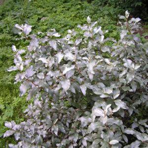 Elaeagnus commutata - Лох серебристый