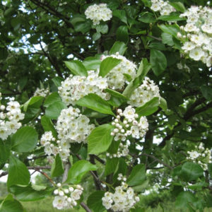 Crataegus succulenta «Jubilee» - Боярышник сочный «Jubilee»