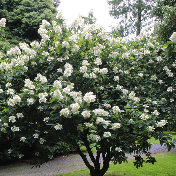 Hydrangea paniculata «Grandiflora» - Гортензия метельчатая «Grandiflora»