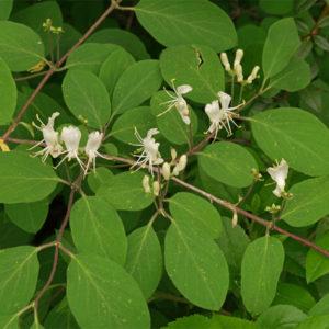 Lonicera xylosteum - Жимолость обыкновенная