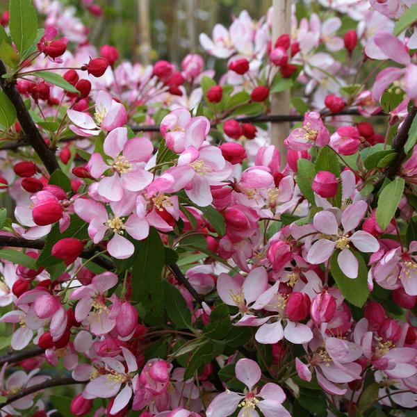 Malus floribunda - Яблоня обильноцветущая