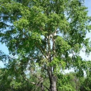 Populus balsamifera - Тополь бальзамический