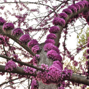 Cercis canadensis - Церцис канадский