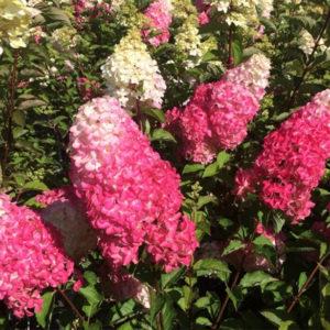 Hydrangea paniculata «Fraise melba» - Гортензия метельчатая «Fraise melba»
