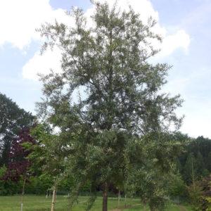 Hippophae salicifolia «Robert» - Облепиха иволистная «Robert»
