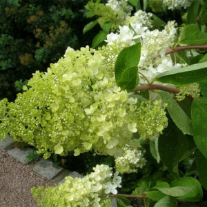 Hydrangea paniculata - Гортензия метельчатая