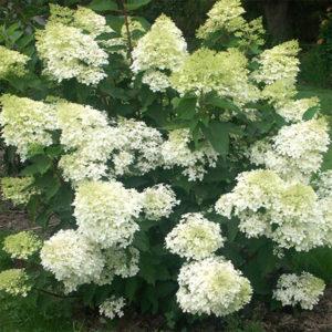 Hydrangea paniculata «Phantom» - Гортензия метельчатая «Phantom»