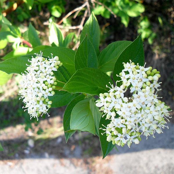 Cornus alba - Дерен белый