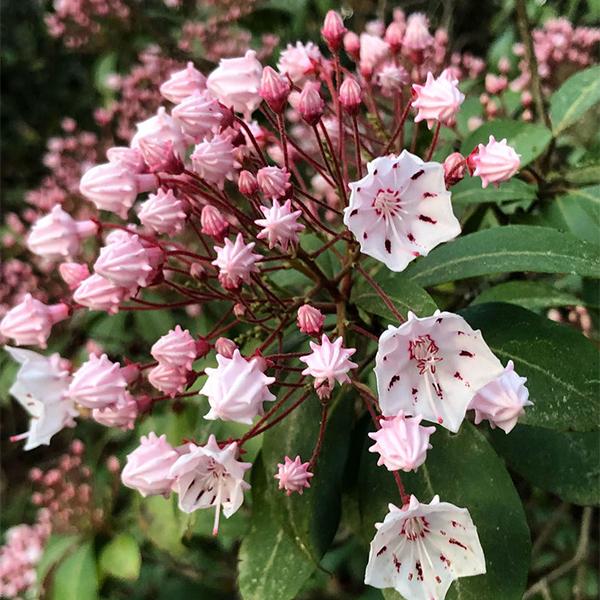 Kalmia latifolia - Кальмия широколистная