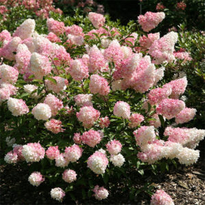 Hydrangea paniculata «Vanille fraise» - Гортензия метельчатая «Vanille fraise»