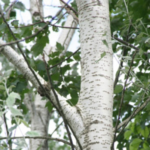 Populus alba «Nivea» - Тополь белый «Nivea»