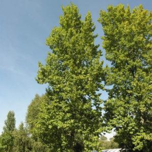 Populus x berolinensis - Тополь берлинский