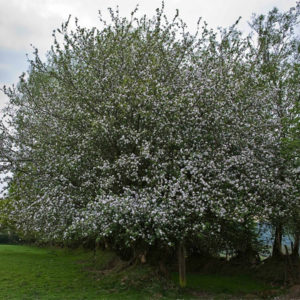 Malus sylvestris - Яблоня лесная