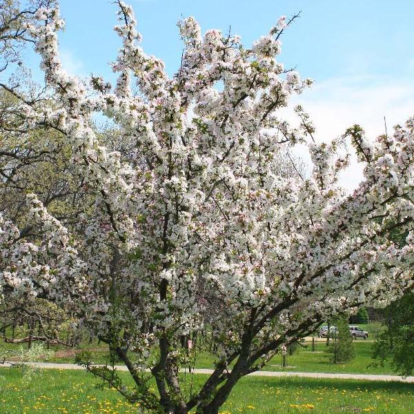 Malus hupehensis - Яблоня хубейская