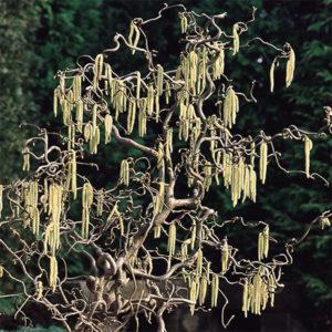 Corylus avellana «Contorta» - Лещина обыкновенная «Contorta»