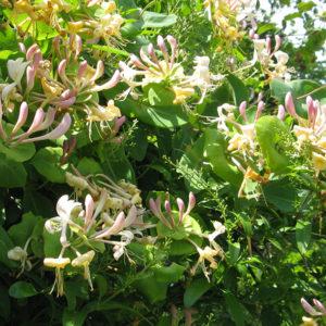 Lonicera caprifolium - Жимолость каприфоль