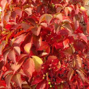 Parthenocissus quinquefolia - Виноград девичий пятилисточковый