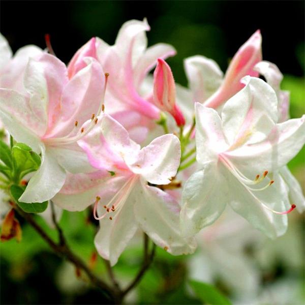 Rhododendron obtusum «White Lights» - Рододендрон тупой «White Lights»