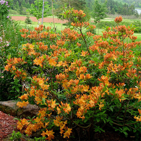 Rhododendron prinophyllum «Golden Lights» - Рододендрон падуболистный «Golden Lights»