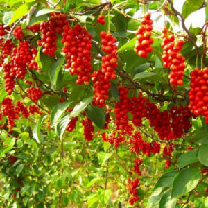 Schisandra chinensis - Лимонник китайский