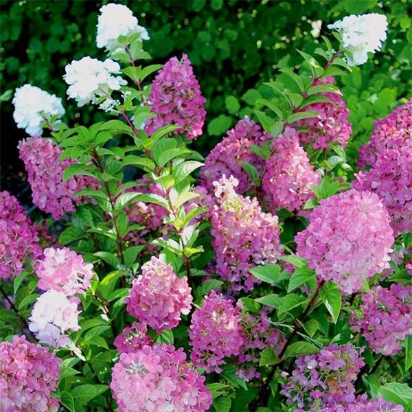 Hydrangea paniculata «Sundae fraise» - Гортензия метельчатая «Sundae fraise»