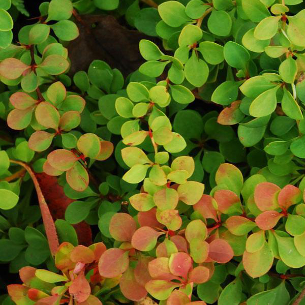 Барбарис Тунберга «Green Ornament» - Berberis thunbergii «Green Ornament»