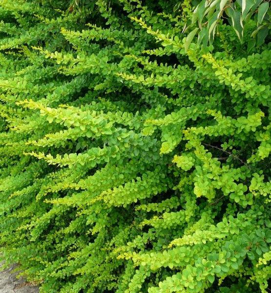 Барбарис Тунберга «Green Carpet» - Berberis thunbergii «Green Carpet»