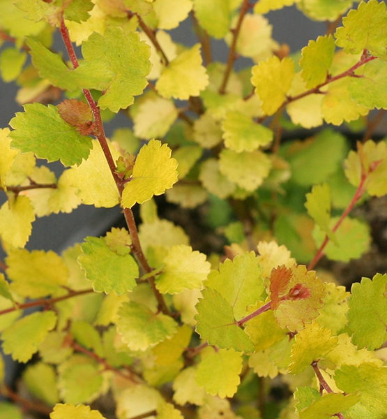 Береза карликовая «Golden Treasure» - Betula nana «Golden Treasure»