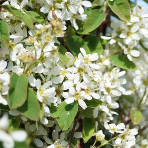 Ирга колосистая - Amelanchier spicata